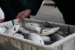 Առգրավվել է 207 հատ «սիգ» տեսակի ձուկ