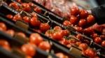 В России уничтожили почти 200 кг помидоров из Турции