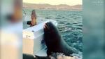 Հսկայական փոկը թռել է նավակի մեջ, որ ձուկ ուտի