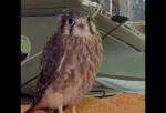 Նյու Յորքի շահույթ չհետապնդող ընկերությունը օգնում է վիրավոր թռչուններին