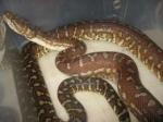 Բաղրամյան պողոտայի և Պռոշյան փողոցի խաչմերուկում օձ է նկատվել