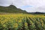 Չինաստանում ծաղկած միլիոնավոր արևածաղիկները գրավում են զբոսաշրջիկներին