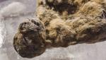 Յակուտիայում հինավուրց քարանձավային առյուծի ձագի մնացորդներ են հայտնաբերվել