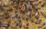 Դանդաղ մահ․ եվրոպացիները մեղրի մեջ թույն են գտել (տեսանյութ)
