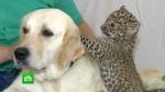 Վլադիվոստոկում շունը որդեգրել է ընձառյուծի ձագին (տեսանյութ)
