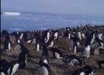Ատլանտյան օվկիանոսի մի փոքրիկ կղզյակում միլիոնավոր պինգվիններ են հայտնաբերվել