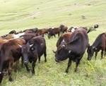 Փոքր Այրումում գայլերը կովեր են հոշոտել