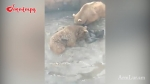 Ինչպես են Երևանի կենդանաբանական այգում արջերը կերել արջին