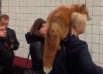 Մոսկվայի մետրոյում աղվեսն ուսին աղջկա են նկատել