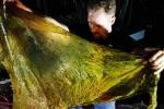 Ֆիլիպիններում սատկած կետի ստամոքսում 40 կիլոգրամ պլաստիկե տոպրակներ են գտել