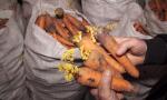 Շիրակի մարզում 1500 տոննա բազուկն ու 150 տոննա գազարը նեխում է