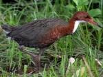 Գիտնականները բացահայտել են բնական պայմաններում սատկած թռչունների տեսակի կրկին առաջացումը