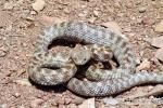 Իսակովի պողոտայի տներից մեկի բակում օձ է նկատվել
