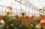 Հայաստանի Գողթ համայնքում 25 տեսակի 11 միլիոն վարդ է աճեցվում