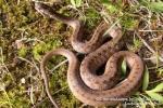 Բռնել են 4 շահմար, 2 գյուրզա տեսակի օձ և տեղափոխել անվտանգ տարածք