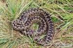 Ահազանգեր են ստացվել հանրապետության տարբեր տարածքներում նկատված օձերի վերաբերյալ